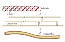 Collagen triple chain